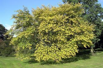 Golden Wych Elm