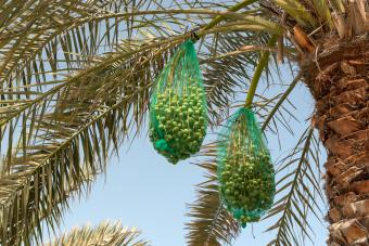 Dates protected by nets in palm tree