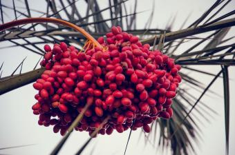Ripe dates in palm tree