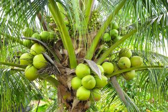 green coconuts in palm tree
