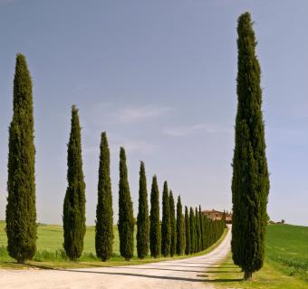 Italian Cypress trees lining road