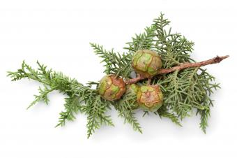 Cypress tree cones on branch