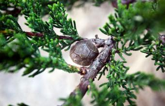 Cypress tree nut in branches