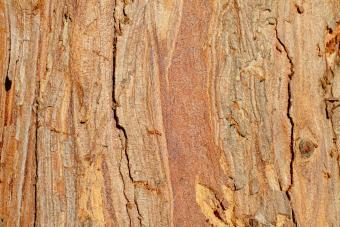 Cypress Tree Wood Closeup