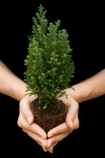 Holding little Cypress tree in hands