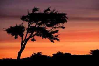 Lone Monterey Cypress tree at sunrise