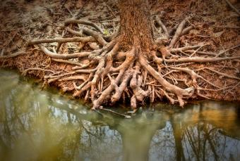 Cypress tree roots in water