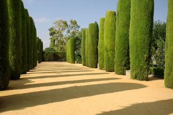 Sculpted Cypress trees in a row