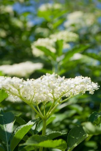 White elderflowers on branch