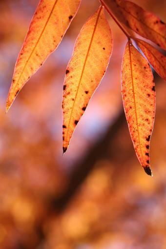 Orange Elder leaves in Fall