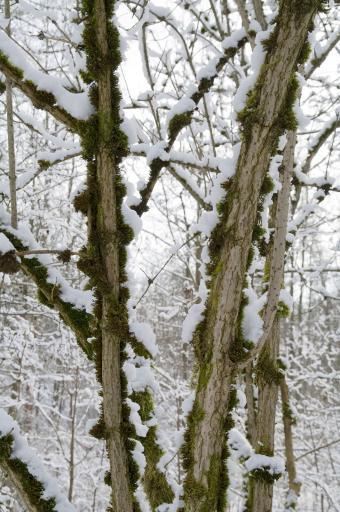 Elder trees in winter