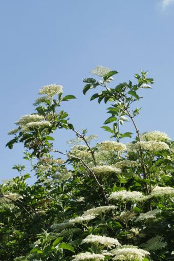 White Elderflowers on tree