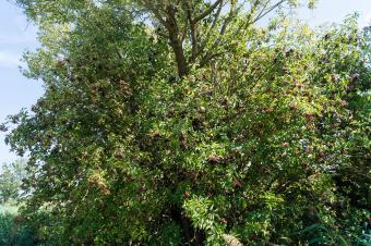 Black Elder with ripe berries