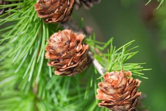 Larch twig with cones on a tree
