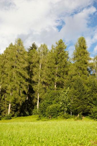European Larch trees in Italy