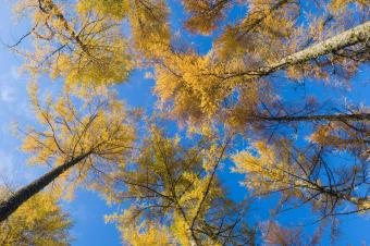 Larch trees in Autumn from below