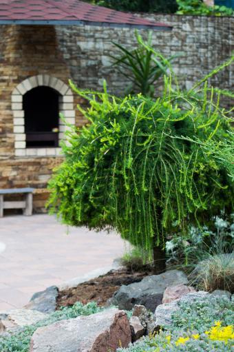European Larch tree in garden