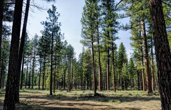 Western Yellow Pinus