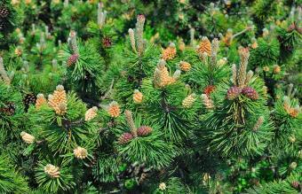 Mountain Pinus