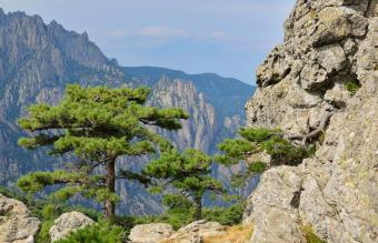 Corsican Pinus