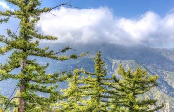 Sugar Pinus