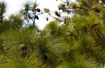 Monterey Pinus