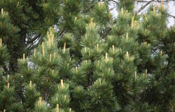 Swiss Pinus