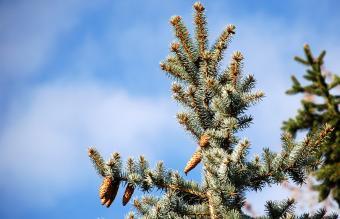 Grey-leaved Pinus
