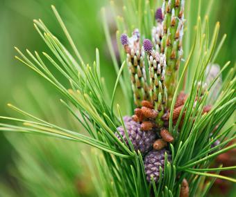Torch Pinus