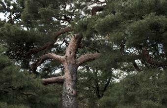 Red Pinus