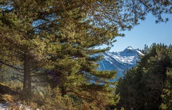 Pyrenean Pinus
