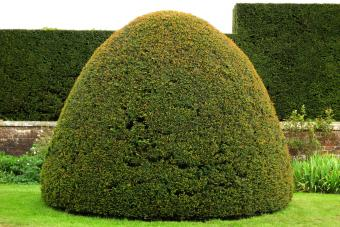 Clipped yew tree in dome shape