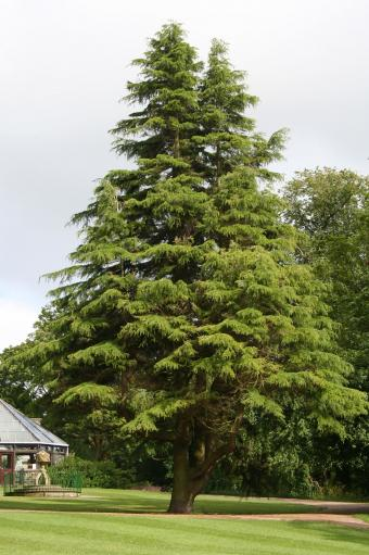 Yew tree in park
