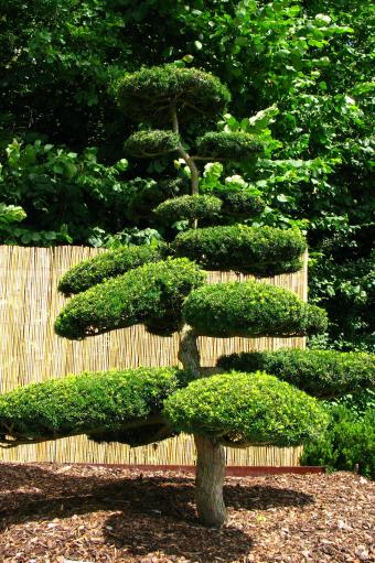 Trimmed Japanese yew tree