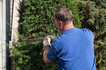 Man pruning yew tree in yard