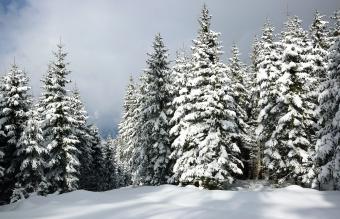 Pines in Winter
