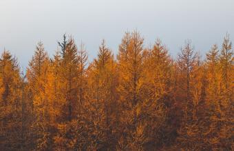 Autumn Pine Trees