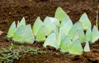 Mud puddling Butterflies