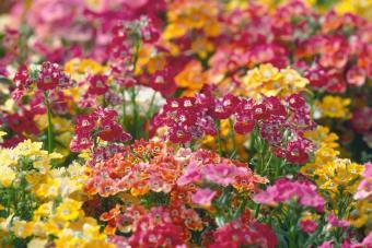 Rainbow Colored Nemesia Flowers