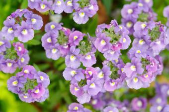 Lilac Nemesia flowers