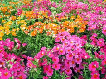 Nemesia - colorful summerflowers