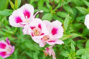 How to Grow Clarkia Wildflowers