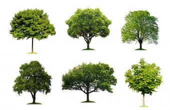 Tree Identification Guide With Simple Steps
