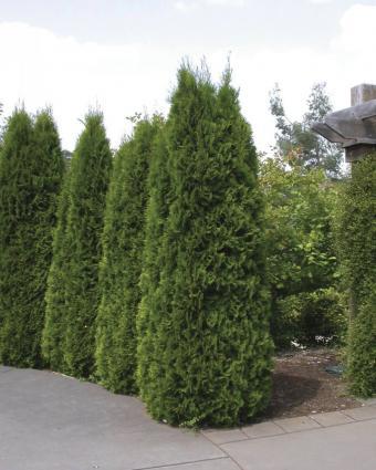 Thuja Emerald Green occidentalis Arborvitae