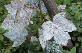 How to Get Rid of Powdery Mildew From Plants