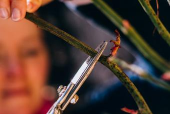 Woman trimming rose branch