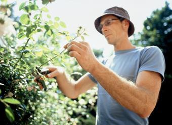 Man trimming a rose bush