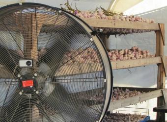 Drying garlic with big fan