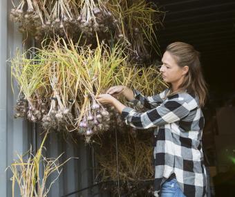 Female farmer hanging, drying garlic in barn