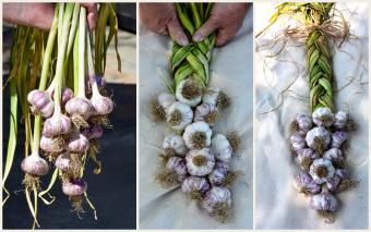 Garlic from harvest to braid